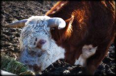 No-Name Bull