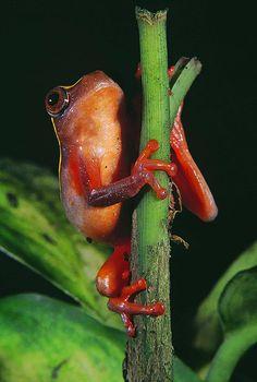 Clown Treefrog