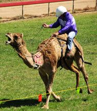The Virginia City Camel Races are a 52-year tradition.