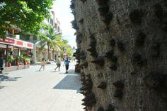 Ceiba tree in 5th Avenue, Playa del Carmen