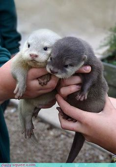 a baby sea otter and a baby river otter...