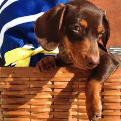 """""""Was in the picnic basket, am I good enough to eat?"""" #dogs #pets #Dachshunds #puppies Facebook.com/sodoggonefunny"""