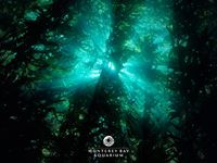 Free kelp forest wallpaper from the Monterey Bay Aquarium.
