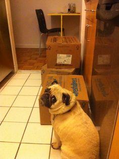 Pilgrim is diligently waiting for FreshDirect to be unpacked pilgrim