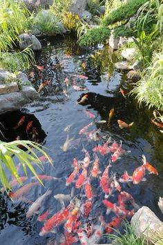water featur, idea, fish, koi ponds, outdoor, koipond, japanes garden, water garden, backyard pond