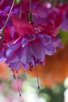 ☀Fuchsia ~ Once in a While by Synapped