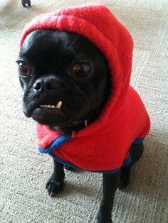 anim, red riding hood, little red, big eyes, thug life, pug life, pugs, puppi, dog