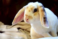 My plush lop Zephyr - new to New Zealand - Male
