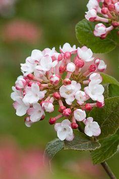 Viburnum carlesii 'Aurora'  I LOVE Viburnum.  Has the most heavenly fragrance.