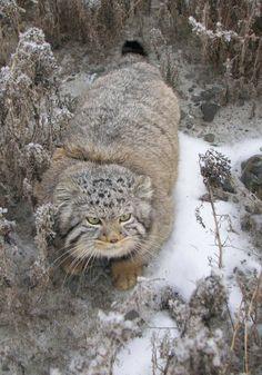 manul the wild cat