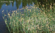 Hardstem bulrush (Schoenoplectus acutus), found at New England Wetland Plants