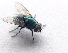 essential oils to repel flies