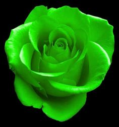 Image detail for -COLORS OF ROSES: GREEN ROSES