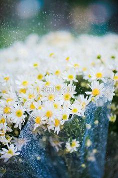 Đăng ảnh cúc họa mi lên bây giờ có hơi sớm, nhưng chớm lạnh Seoul giờ này chỉ khiến mình nhớ Hà Nội mà thôi.  ( :(( )
