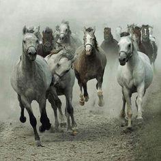 Wild, horses, heste, herd, dust, movement, animals, beautiful, stunning, gorgeous, photograph, photo