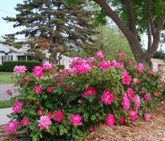 Knockout roses are the easiest and most forgiving rose shrubs. I love them.