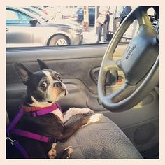 Tryin' to catch me ridin' dirty  #lola  #bostonterrier  #boston #terrier #picture