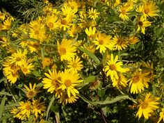 Maximilian sunflower, blooms Aug to Oct, grows 4-8 ft