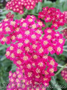 Achillea, maybe 'Summer Wine'
