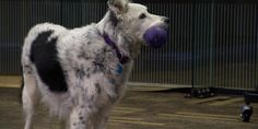 Did you see this on  60 Minutes?... So amazing! Anderson Cooper met Chaser, a dog who can identify over a thousand toys, and the scientists who are studying the brains of dogs.