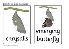 butterfly life cycle flash cards
