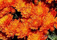 Orange Mums Flowers   Orange Mums fall