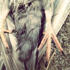 Dead Pigeon / La paloma muerta