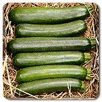 Organic Dunja F1 Hybrid Zucchini