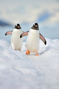 Happy Penguins playing!