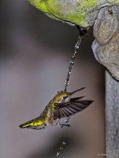 Hummingbird bathing while flying.