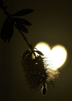 A branch foregrounds the heart shaped sun during an annular solar eclipse seen from Los Angeles