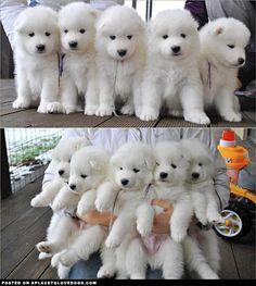 Samoyed Puppies ahhhh