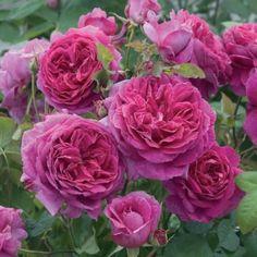 David Austin heirloom rose bush