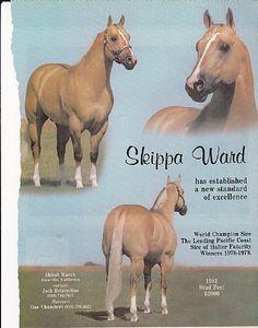 Skippa Ward, 1972 stallion by Skipa Skip x Skips Harp by Skips Reward. B/O: H J Wiescamp, Alamosa, CO. AQHA Offspring Record for Skippa Ward: Total Points Earned: 1,127.5; Reg Foals: 257; Number Shown: 75; Point Earners: 36; Halter Points Earned: 203.5; Halter Point Earners: 37; Performance Points Earned: 924; Performance Point Earners: 35; Performance ROMS: 19; Superior Performance Awards: 2; AQHA Champions: 1; World Championships: 1; Total Superior Awards: 2.