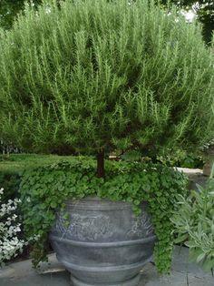 rosemary as a tree