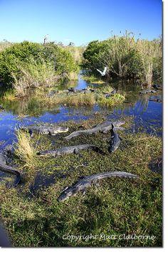 Alligators, Everglades National Park, Florida