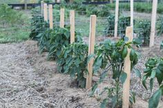 HOW TO STAKE YOUR TOMATOES AND PEPPERS THIS YEAR - THE EASY WAY!!!