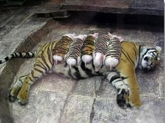 They all have feelings.     A mother tiger lost her cubs due to premature labor. Shortly after, she became depressed and her health declined. She was later diagnosed with depression. Since tigers are endangered, every effort was made to secure her health. Zoologists wrapped piglets up in tiger-print cloth, and presented them to the mother tiger. She now loves these piglets and treats them like her own. And needless to mention, her health is back on track. Yes, they all have feelings.