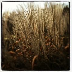 Grass on the pond - Nov 2012