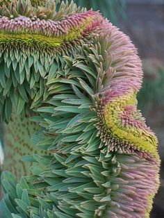 Euphorbia wulfenii fasciation. A fabulous mutation affecting most if not all plants (of an unknown cause) called Fasciation. Found on a variety of plants all with spectacular effects but this has got to be the best yet. Taken at Ryton Organic Gardens Feb '09.