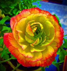 Persian Buttercups <3 Absolutely my favorite