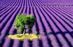 Gorgeous Lavender field. Don't you wish you could be there?