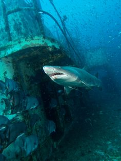 A shark cruises past a shipwreck in the waters off the coast of North Carolina