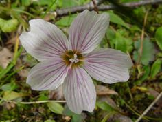 Alaska Spring Beauty is a delicate white and pink flower among green foilage.