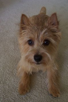 Norwich Terrier one of my first  choices. Good with kids, and other pets. They are good house or apartment dogs. And adorable. Perfect dog.