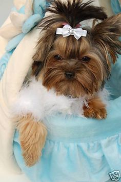 What's not to LoVe.... teacup yorkie.