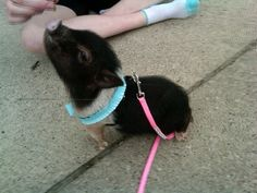 """Joyful Living with a Mini Pig- 20 ways to find """"Joy"""" with your mini pig."""