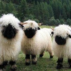 I Am a Sheep