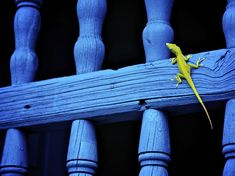Green lizard Nat geo