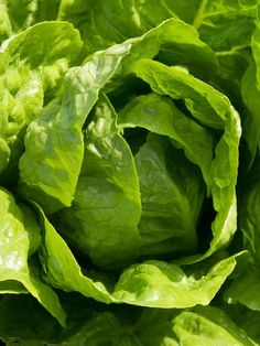 Cool Greens: Growing Lettuce in Your Fall Garden